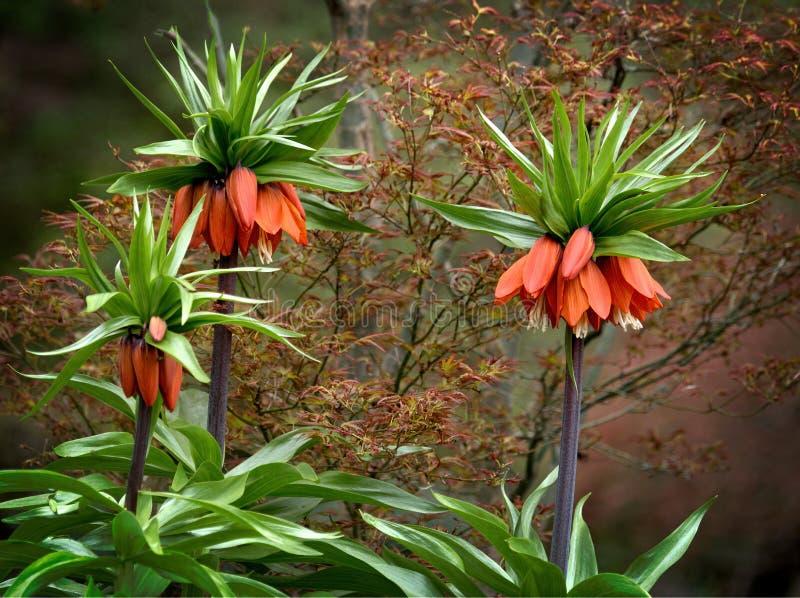 Fritillariaimperialis kr?nar den imperialistiska imperialistiska fritillaryen eller Kaisers krona arkivfoto