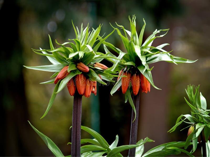 Fritillariaimperialis kr?nar den imperialistiska imperialistiska fritillaryen eller Kaisers krona royaltyfria foton