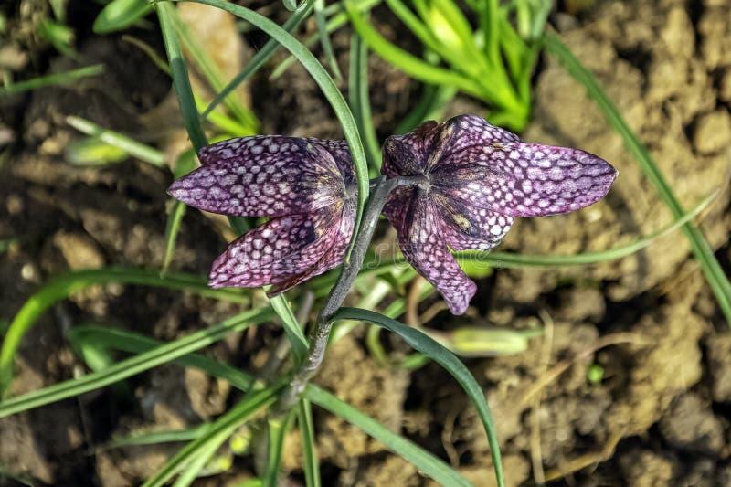 Fritillariameleagris die als lepralijderlelie, fritillary van de slang hoofd, schaakbloem wordt bekend, neerhangende tulp, parelh royalty-vrije stock fotografie