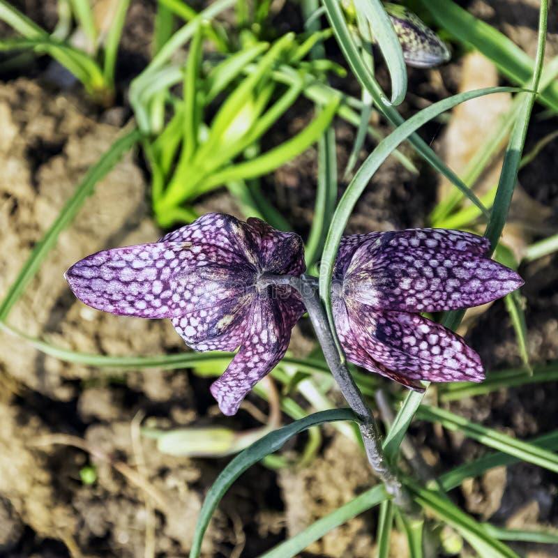 Fritillariameleagris som är bekant som spetälskliljan, orms huvudfritillary, schackblomma som slokar tulpan, pärlhönset eller gui royaltyfri foto