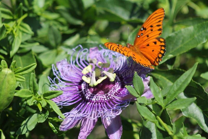 Fritillaries selvagens da passiflora e do golfo imagens de stock royalty free