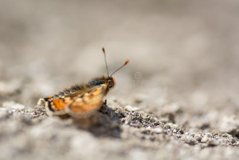 Fritillary πεταλούδα έλους (aurinia Euphydryas) στο σχεδιάγραμμα στοκ φωτογραφίες