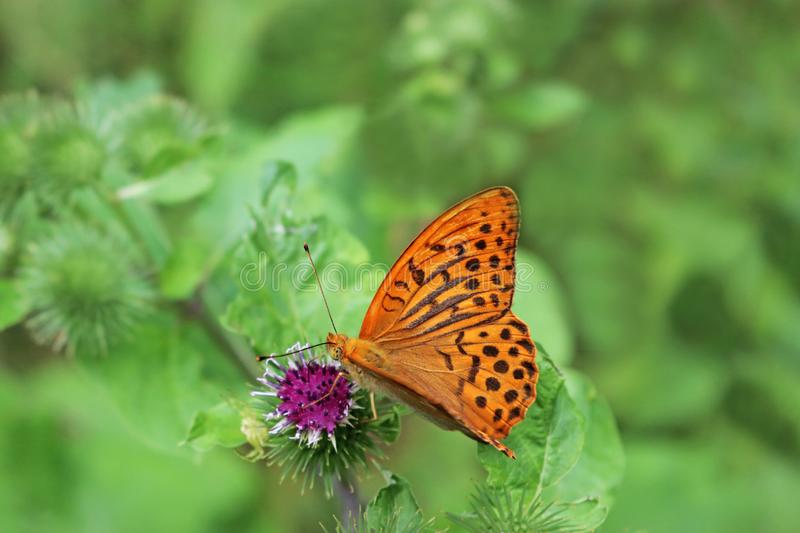 Fritillary butterfly on a purple blossom royalty free stock photo