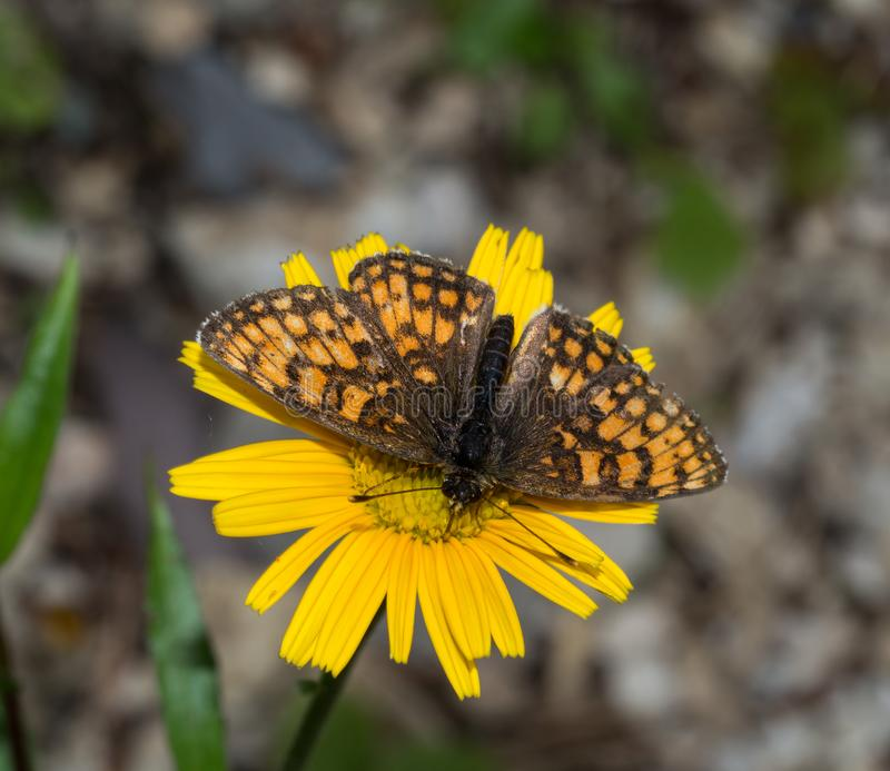 Fritillary butterfly and yellow flower. Fritillary butterfly on a yellow flower stock image
