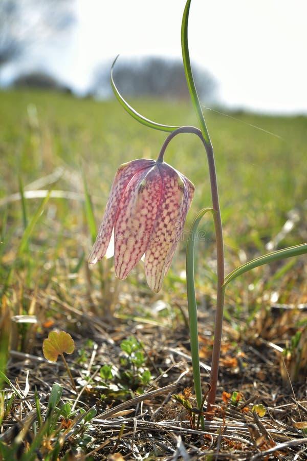 Fritillary da cabeça do ` s da serpente do meleagris do Fritillaria, narciso amarelo quadriculado, flor da flor da xadrez imagem de stock