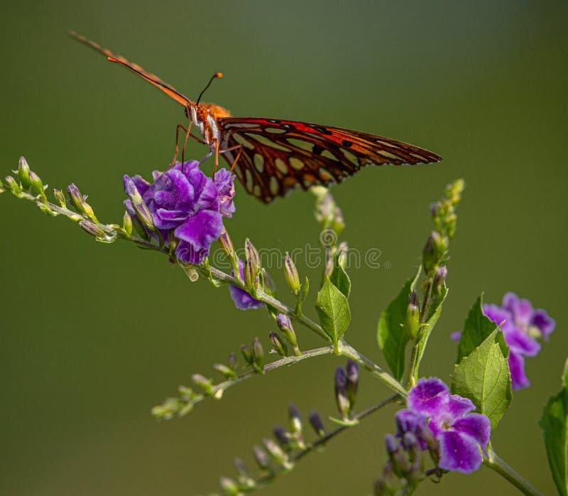 Fritillary do golfo na flor dourada roxa da gota de orvalho, Seminole, Florida imagem de stock