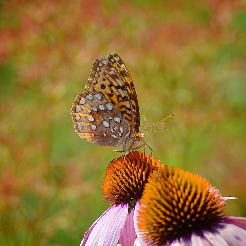 Fritillary-Schmetterling lizenzfreie stockfotografie