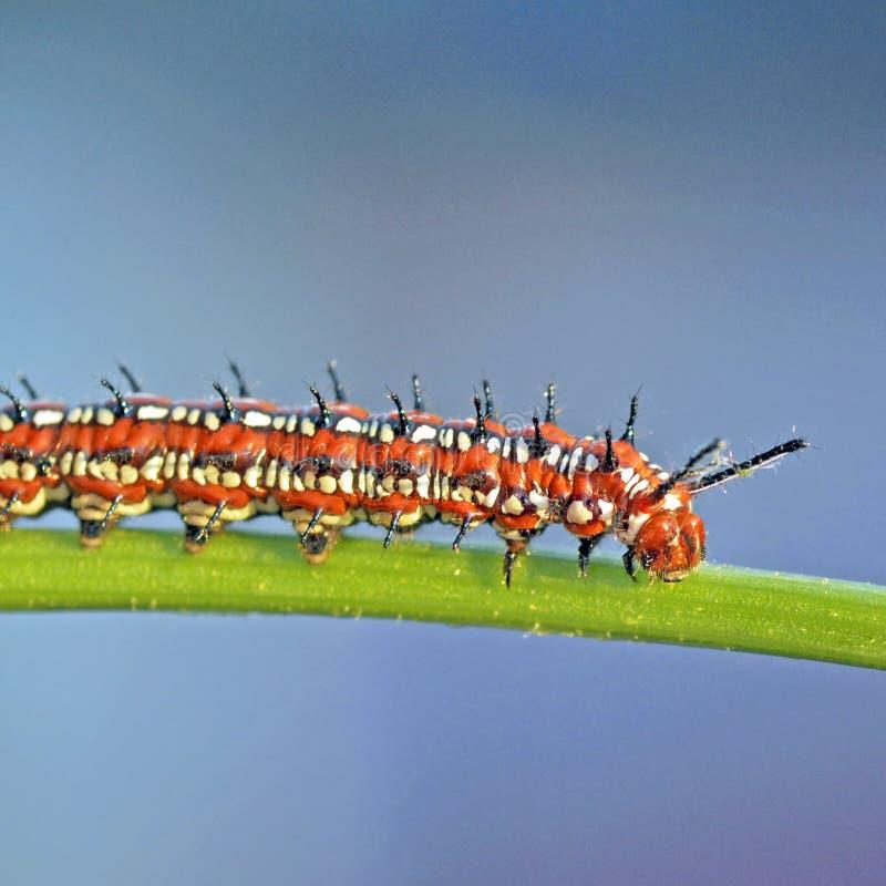 Fritillary Variegated Caterpillar imagens de stock