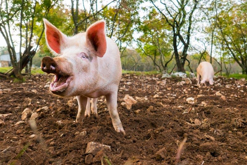 fritt pigsområde arkivbilder