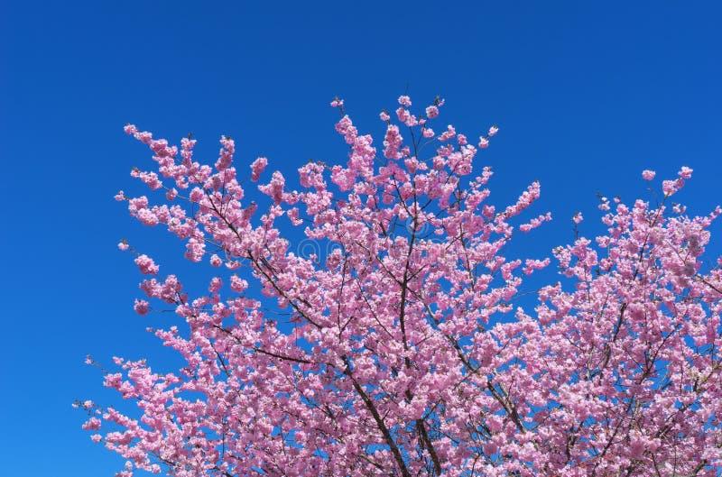 Frodig blommande japansk körsbär royaltyfri foto