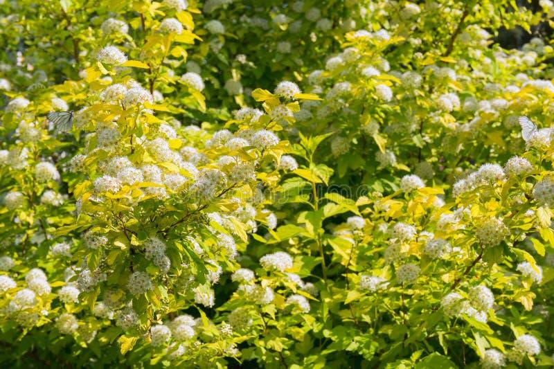 Frodig blommande physocarpus i sommarträdgården Inflorescences av snövita blommor och fjärilar som sitter på dem royaltyfria foton