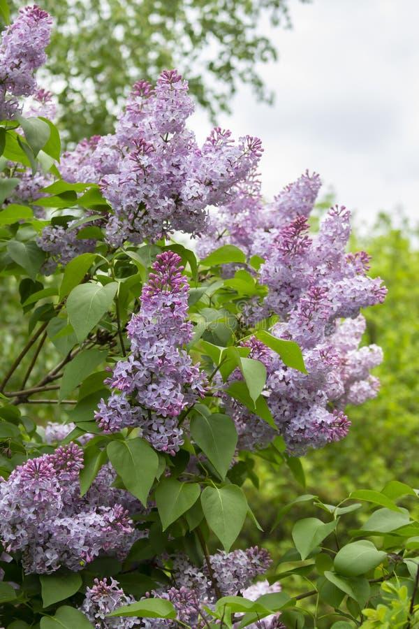 Frodig frodig buske, stora stearinljusinflorescences för härliga purpurfärgade violetta blommor Lila natur fotografering för bildbyråer