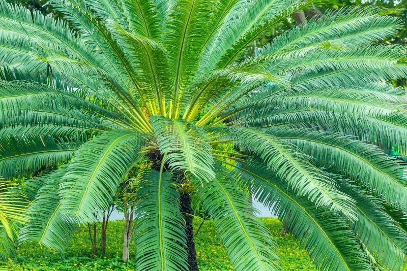 Frodig dvärg- palmträd arkivbild