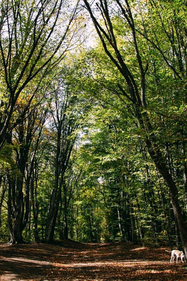 Frodig grön lövverk i den Crimean sommarskogen, bokträdskog royaltyfri bild