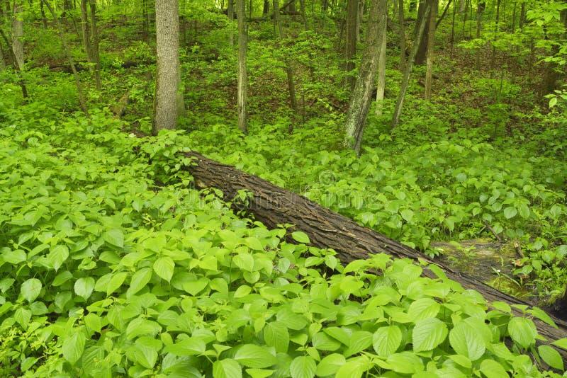 Frodig midwest skog i vår royaltyfria foton