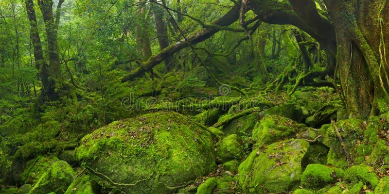 Frodig rainforest längs den Shiratani Unsuikyo slingan på Yakushima royaltyfri fotografi