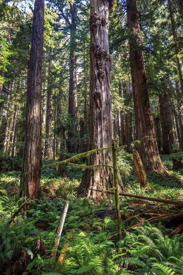 Frodig redwoodträddunge royaltyfri fotografi