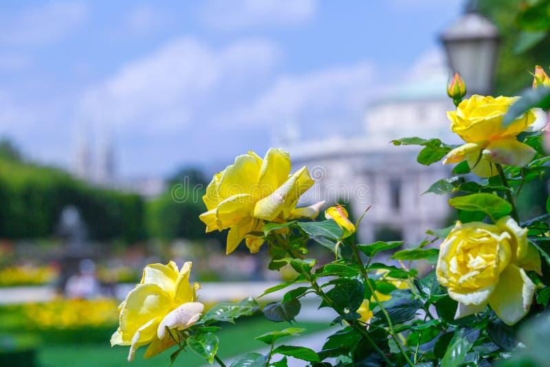 Frodiga blommande gula rosor i rosa tr?dg?rd Volksgarten( people' s park) i Wien ?sterrike arkivbilder