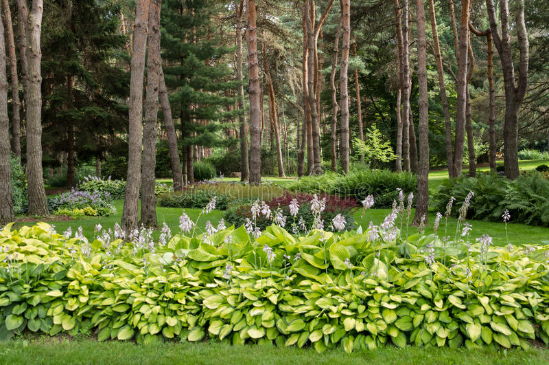 Frodiga blommande Hostas i den Parklike bakgården royaltyfri foto