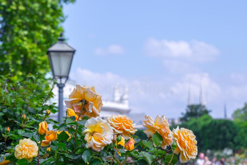 Frodiga blommande orange rosor i rosa tr?dg?rd E royaltyfria bilder