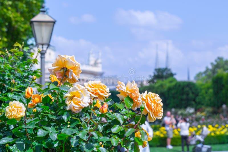 Frodiga blommande orange rosor i rosa tr?dg?rd Volksgarten( people' s park) i Wien ?sterrike arkivbilder