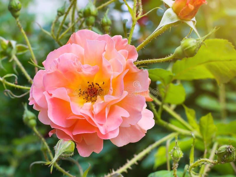Frodiga blommande rosa färger steg på en grön suddig bakgrund på en solig sommardag Natur och botanik, blommor med rosa kronblad arkivfoto