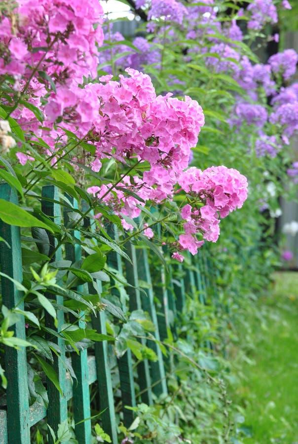 Frodiga blomningar av den rosa och purpurfärgade floxen blommar arkivbilder
