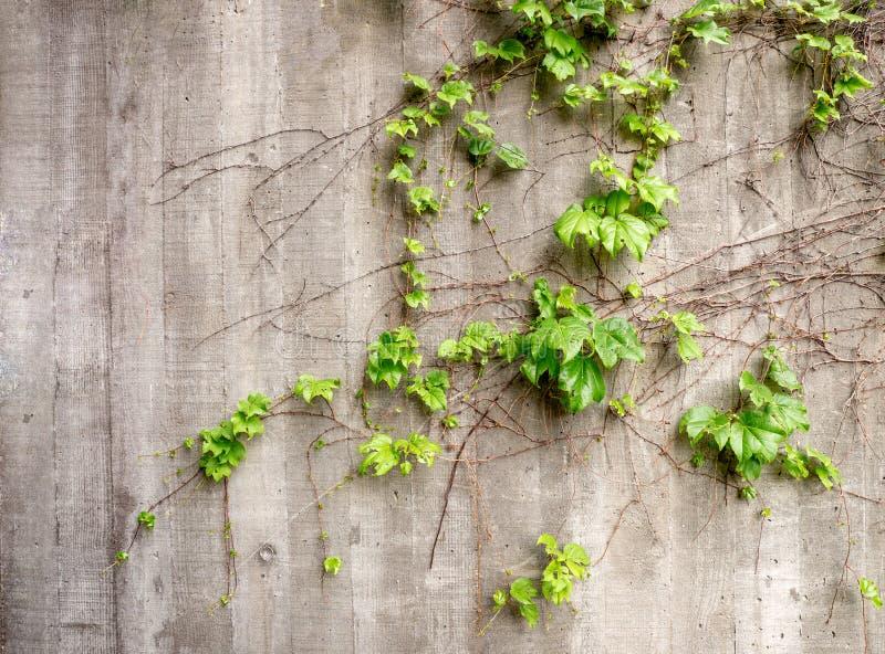 Frodiga gröna vinrankor som växer på sida av den red ut gamla betongväggen royaltyfri bild