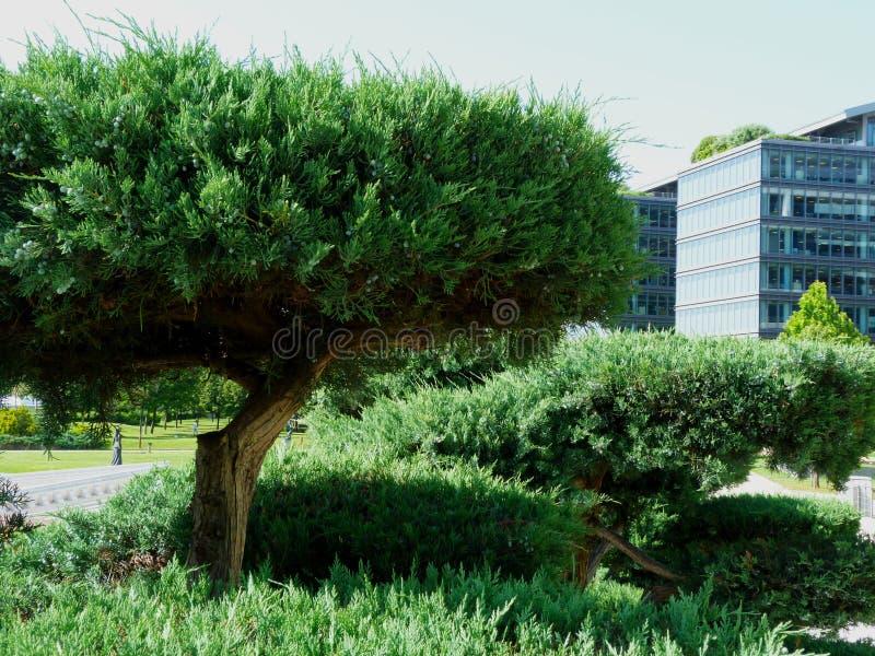Frodiga gröna vintergröna buskar parkerar offentligt med modern exponeringsglaskontorsbyggnad i honom bakgrund royaltyfri fotografi