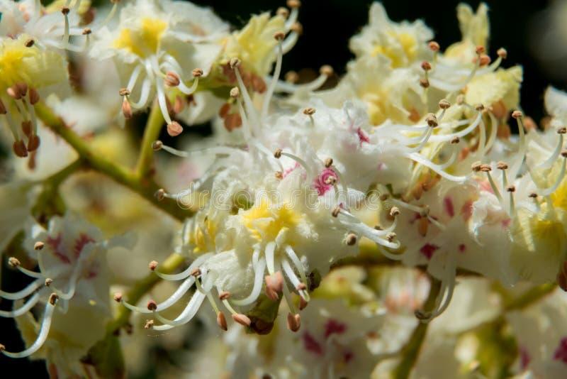 Frodiga kastanjebruna blommor på träd kan in royaltyfri fotografi