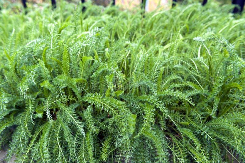 Frodiga sidor av den gemensamma Yarrow Achillea millefoliumen växer i växt- trädgård royaltyfria foton