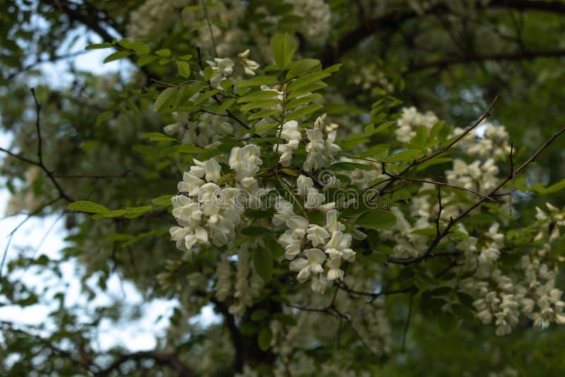Frodigt akaciaträd med filialer som prickas med klungor av blommor mot en blå himmel royaltyfri bild