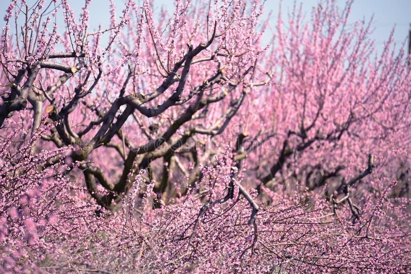 Frodigt blomma av rosa blommor av persikatr?det royaltyfri fotografi