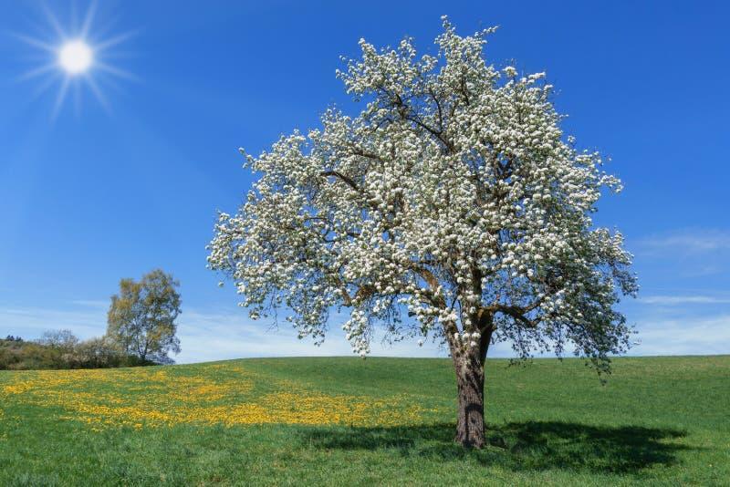 Frodigt blommande päronträd i en äng med maskrosen i solskenet royaltyfri foto