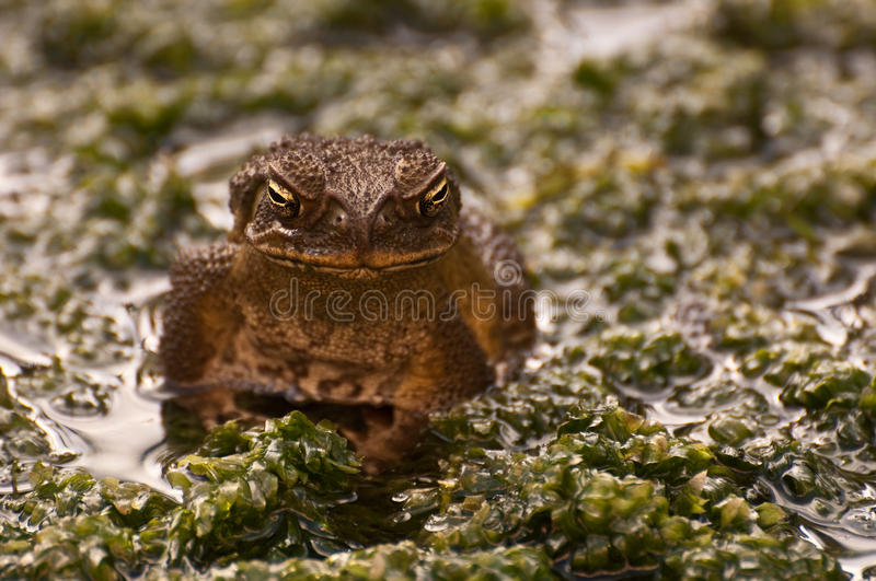 Download Frog stock image. Image of reptile, lily, close, frog - 10745803