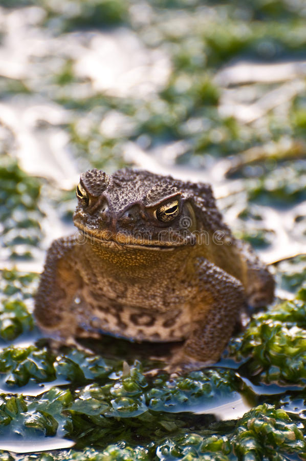 Download Frog stock image. Image of mouth, scales, nature, forest - 11650161