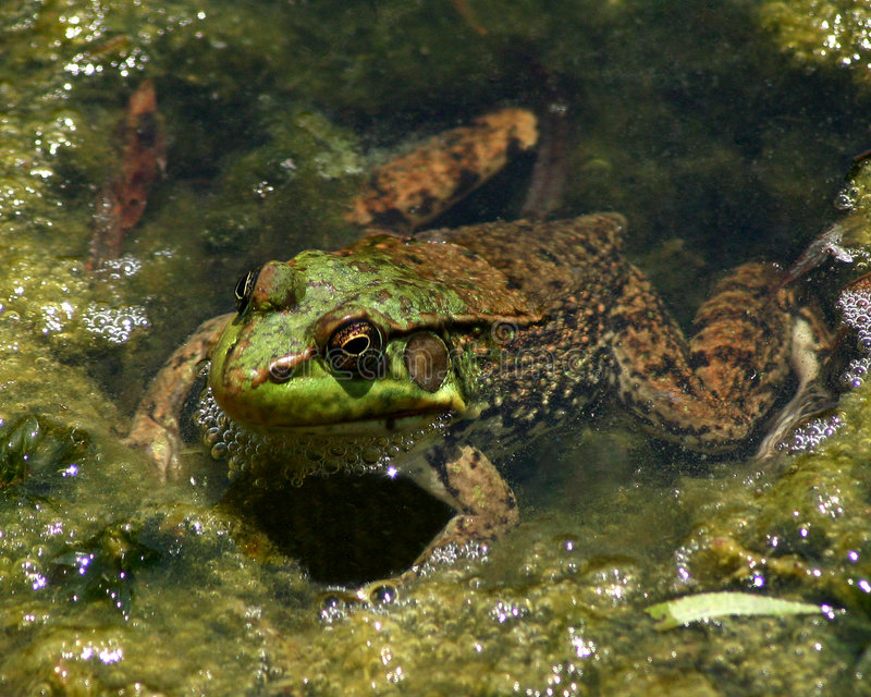 Download Frog stock image. Image of nature, amphibian, frog, water - 11677