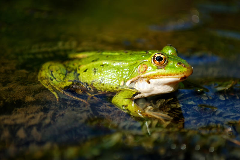 Download Frog stock photo. Image of brown, background, amphibian - 12867100