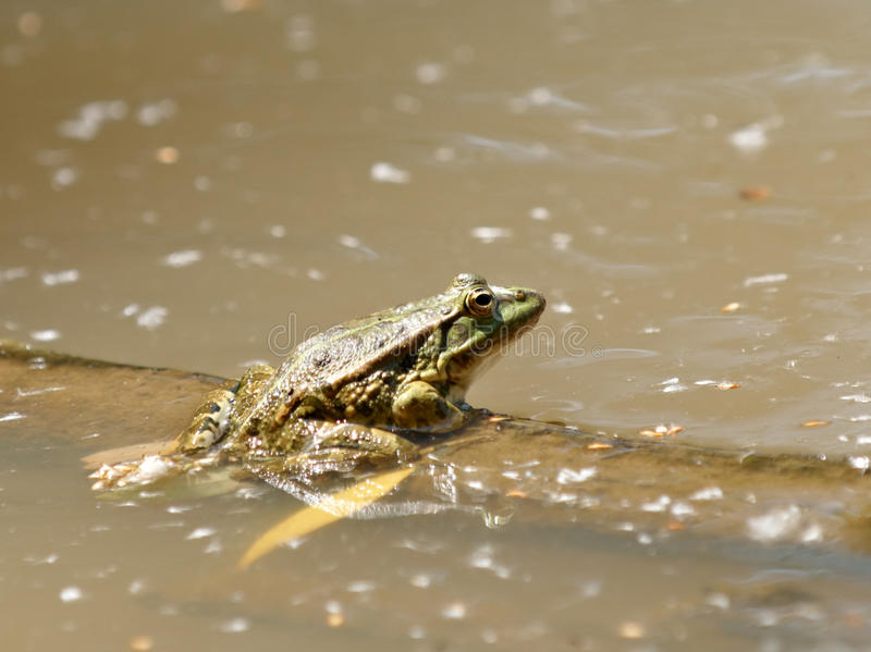 Download Frog stock image. Image of reflection, amphibian, outdoor - 14041611