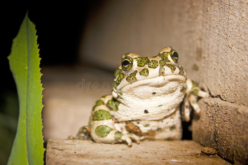 Frog. A happy frog sitting on wood royalty free stock photo