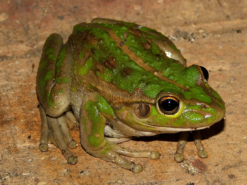 Download Frog stock photo. Image of water, green, brown, leap, jump - 172024
