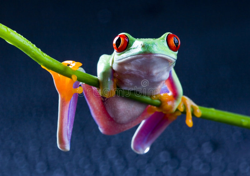 Frog. Small animal with smooth skin and long legs that are used for jumping. s live in or near water. The Agalychnis callidryas, commonly know as the Red-eyed royalty free stock photo