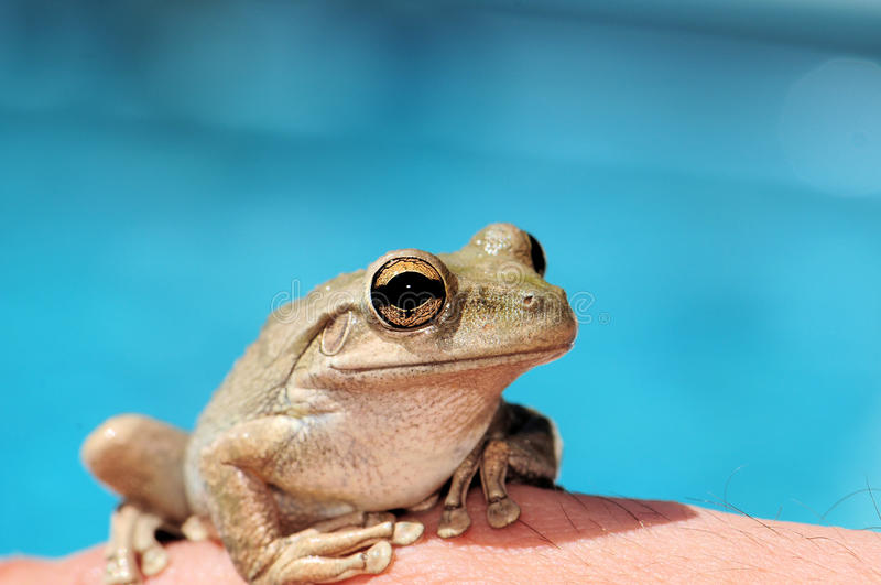 Frog. Tree Frog sitting on the hand of a man stock photo