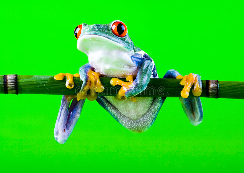 Download Frog stock photo. Image of amphibians, anura, climate - 1940732