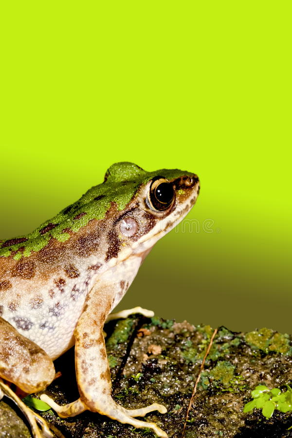 A frog royalty free stock photography