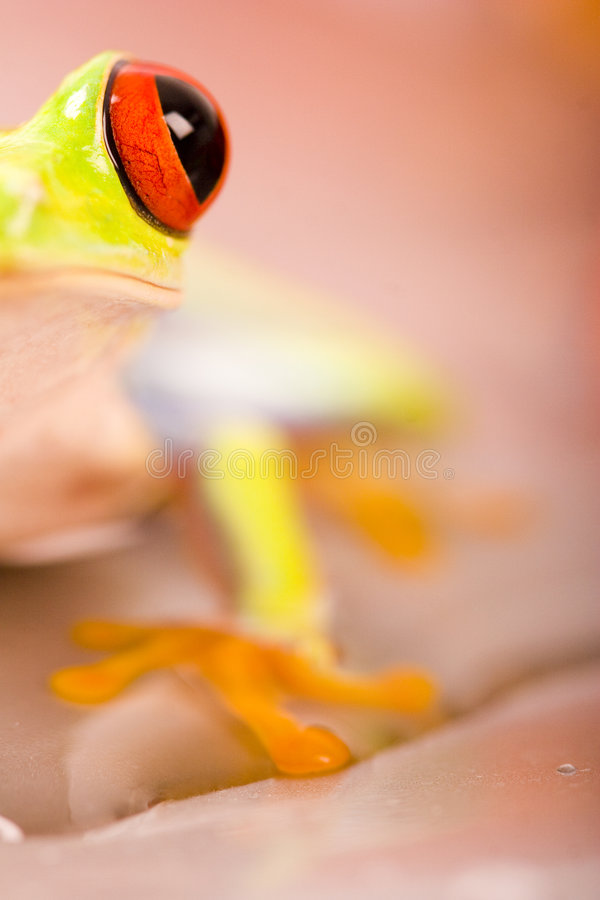 Download Frog Royalty Free Stock Images - Image: 2316549