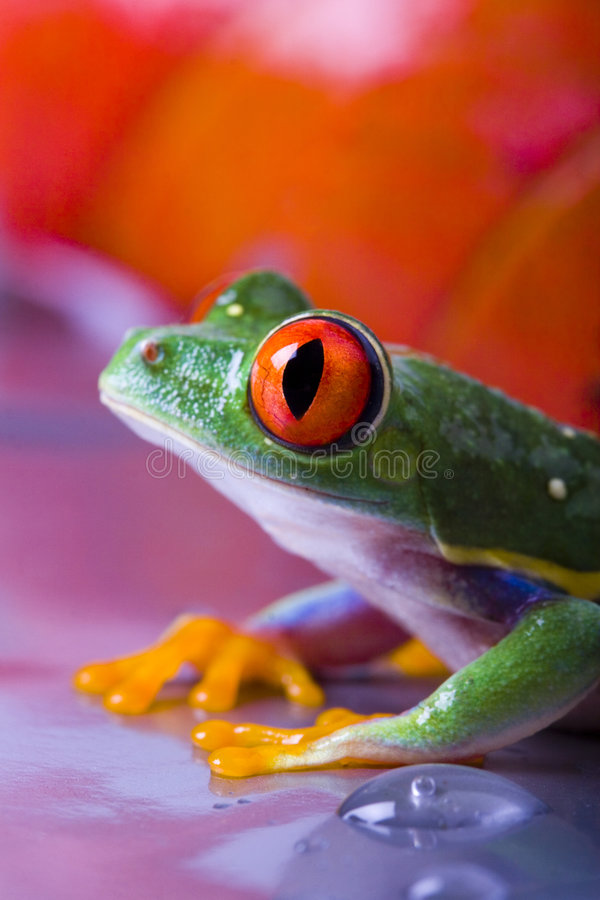 Download Frog stock photo. Image of frogs, peep, eyed, hyla, rainforests - 2316620