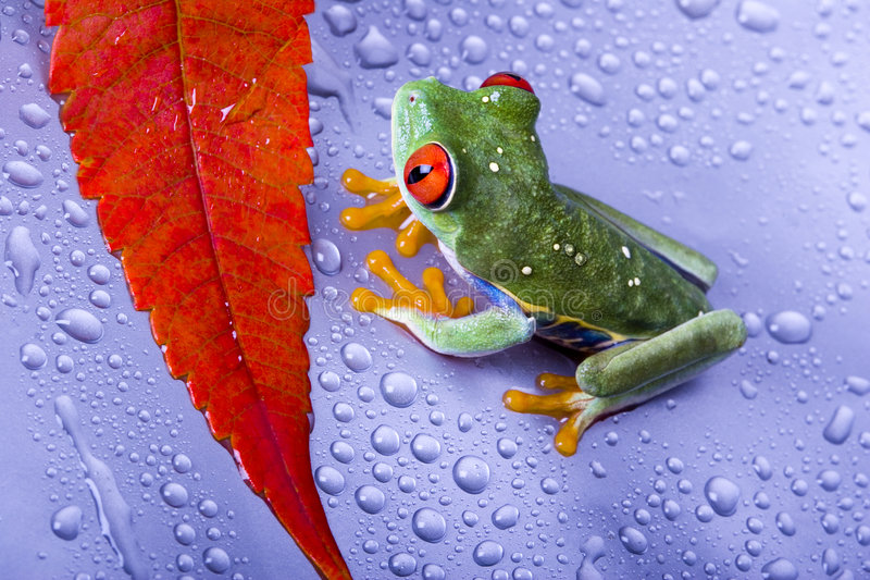 Download Frog stock photo. Image of rainforests, tints, eyed, convergent - 2316630