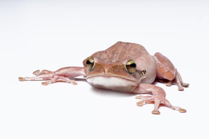 Download Frog stock image. Image of studio, nature, space, look - 23954173
