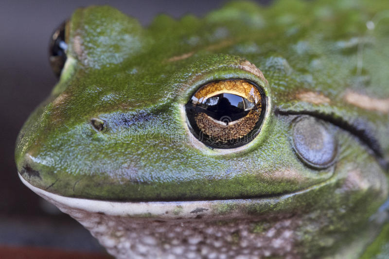Download Frog stock image. Image of green, mouth, nose, tree, australia - 24007545